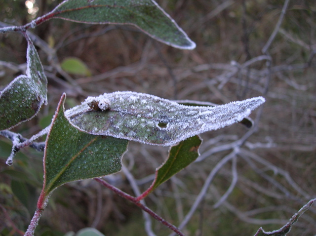 Frost on eucalyptus leaves