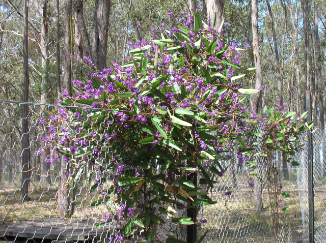 Hardenbergia flowering on the fence of the dog run