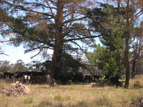 The Long Paddock - cattle droving