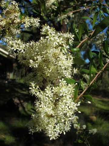Austalian blackthorn (bursaria spinosa) in flower