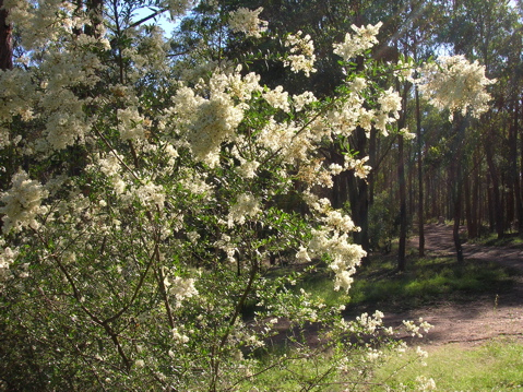 Australian blackthorn (bursaria spinosa) in flower