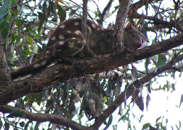 Quoll (near Armidale, NSW)