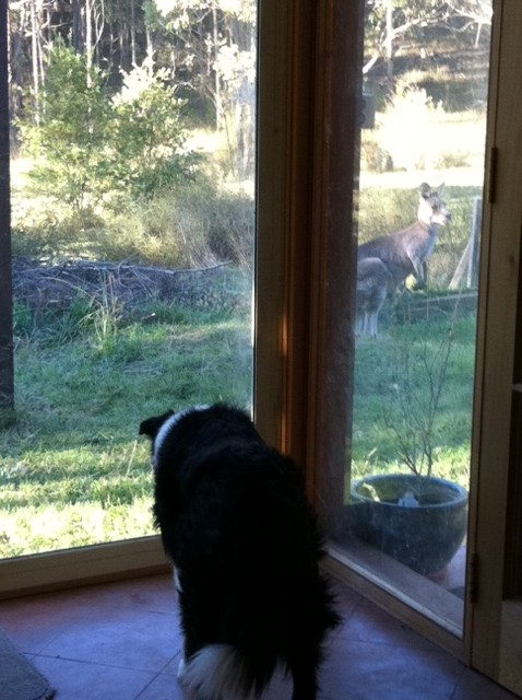 Tansy watching a kangaroo through the window