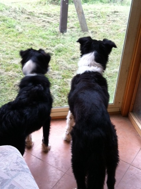 Dogs watching at the window