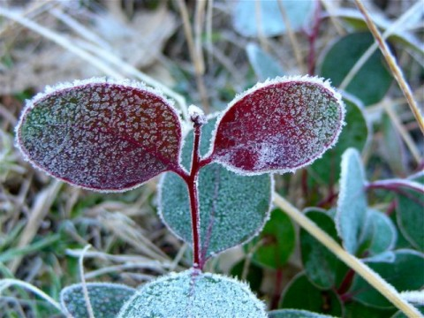 Frost on eucalypt leaves
