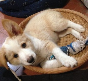 Pippin the puppy curled up in toy basket