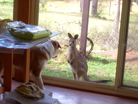 Pippin the border collie meets a kangaroo joey through the window