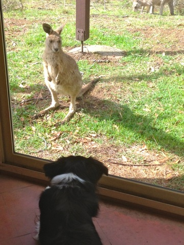 Skye the border collie watching a kangaroo joey just outside the window