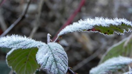 Frost on a blackberry leaf