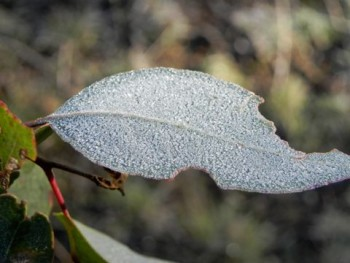 Frost on gum leaf