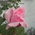 Queen Elizabeth Rose bud